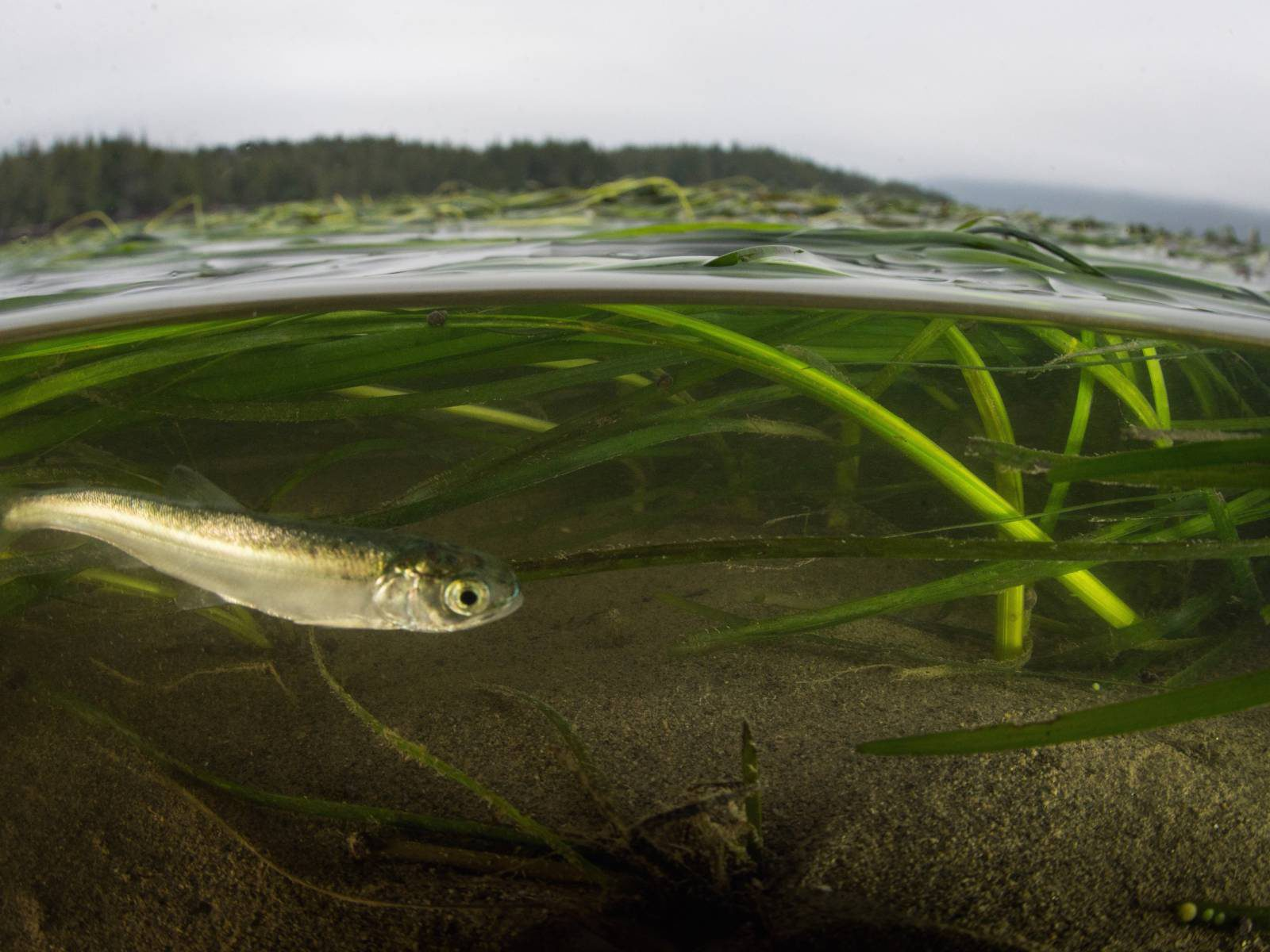 [Image: Sockeye Smolt in Eelgrass by Brian Huntington]